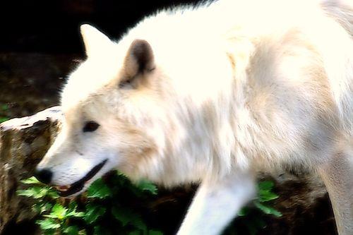 Senwolf